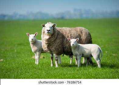 Mother sheep and her lambs in spring, The Netherlands