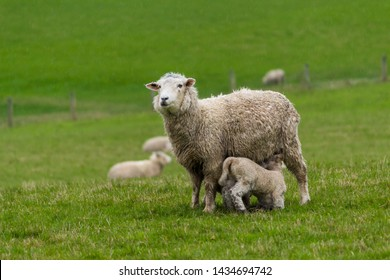 Mother sheep with lamb in a green field/pasture in the South Island of New Zealand.