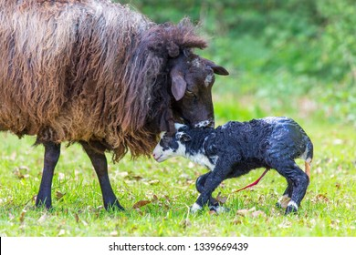 Mother sheep licking newly born black lamb with umbilical cord