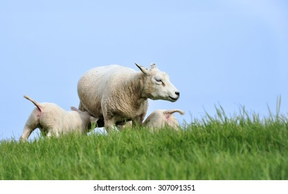Mother sheep nursing two lambs on a hill