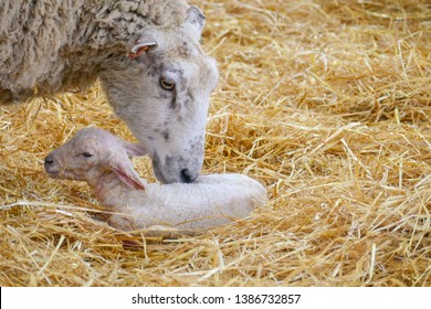 A mother sheep tending to her newborn lamb in a bed of hay in a farmyard barn