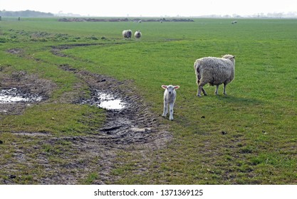 Mother Sheep and their baby lambs in a field full of grass and muddy puddles with one curious inquisitive lamb coming forward to take a closer look at the camera.