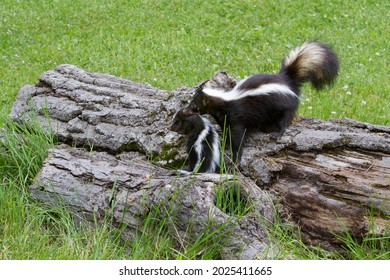 Mother skunk carrying baby by its neck