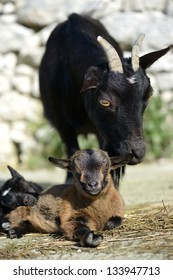 a mother with small goat kid
