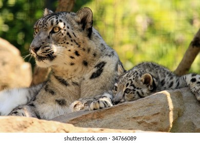 A mother snow leopard (uncia uncia) and her cub.