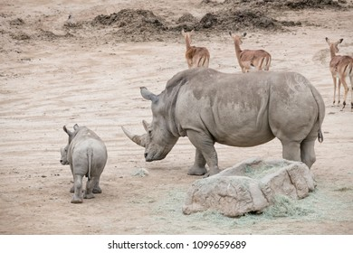 Mother and son Rhinoceros with Impalas behind them