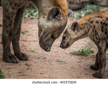 Mother Spotted hyena with cub in the Kruger National Park, South Africa.