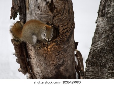 Mother Squirrel at the Edge of her Nest, Protecting her Babies Inside