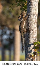 mother squirrel moving baby to new nest