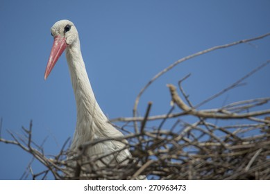 Mother stork in the nest