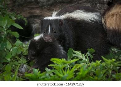 Mother Striped Skunk (Mephitis mephitis) Moves Kit - captive animals