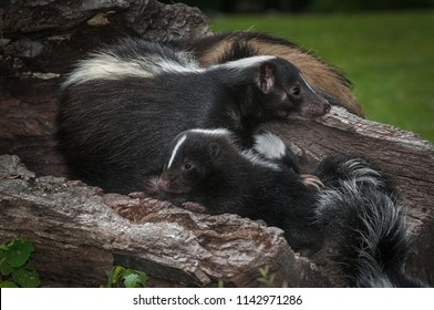 Mother Striped Skunk (Mephitis mephitis) Paw Over Kit - captive animals