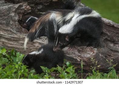 Mother Striped Skunk (Mephitis mephitis) Sniffs at Kit - captive animals
