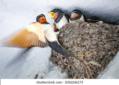 Mother swallow feeding her babies