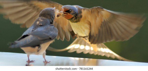 Mother Swallow (Hirundinidae) feeding a bee to her fledgling chick on the fly.
