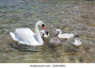 mother swan with babies