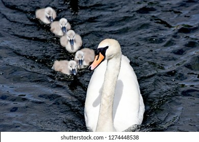 mother swan and cygnets, mother with her cygnets.