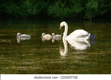 Mother Swan with her baby cygnets in late spring