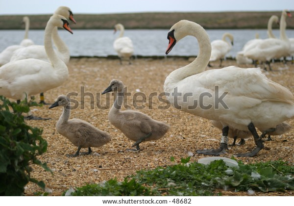 A mother swan and her cygnets. Other swans in the background. Taken at Abbotsbury Swannery, Dorset, England