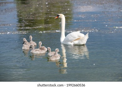 mother swan with offspring's swimming at a lake