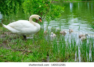Mother swan (white Mute swan) watching over its cute, several days old, cygnets swimming at the edge of a lake, between tall grass - Alexandru Ioan Cuza park, Bucharest, Romania.