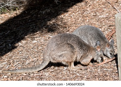 the mother tammar wallaby and her joey are looking for food