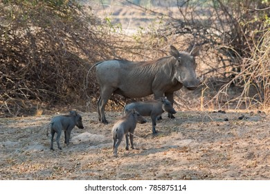 A mother warthog and her piglets in Zambia's South Luangwa Valley.