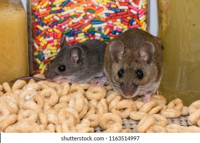 A mother wild brown house mouse, Mus musculus, And her offspring standing on a pile of cereal in front of a jar of colorful candy in a kitchen cabinet.
