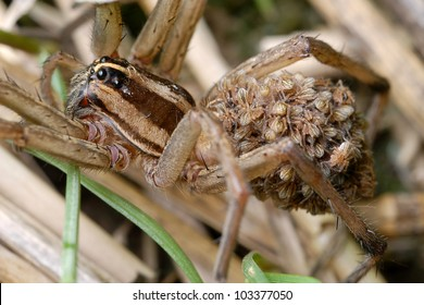 Mother wolf spider with many babies riding on her back (Lycosidae Araneae)