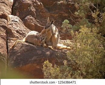Mother Yellow-footed Rock-wallaby or Ring-tailed wallaby (Petrogale xanthopus) with young resting in the shade.
