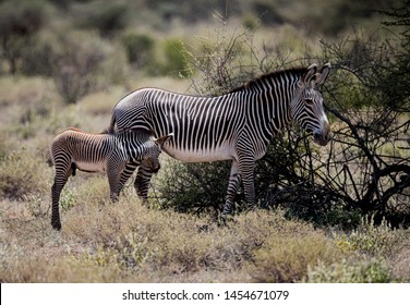 Mother and young foal grazing in Kenya.CR2
