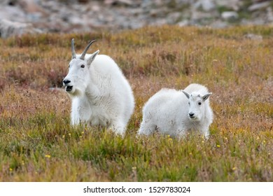 Mother and young Mountain Goat on the tundra in the fall. Colorado, USA.