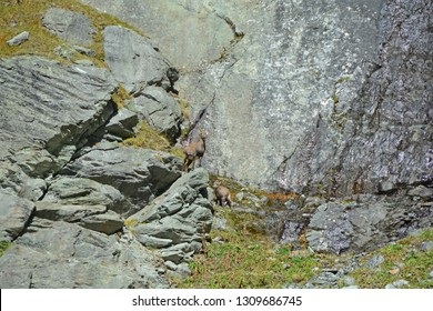 Mother with young mountain Ibex in the mountains