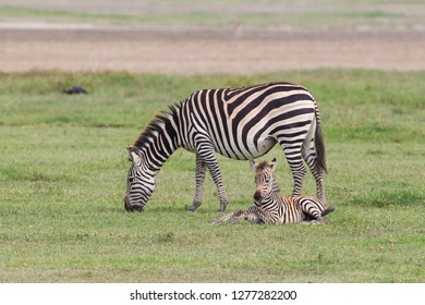 Mother zebra grazes while newborn colt rests on ground beside her, facing camera, front legs raised at knees, side view of adult, Ngorongoro Conservation Area, Tanzania