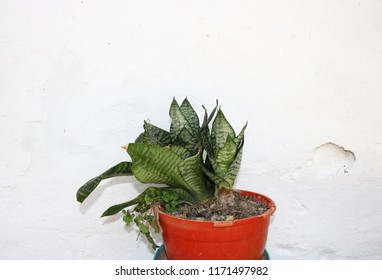 Mother-in-law's tongue (Sansevieria trifasciata) succulent plant in an orange planter standing isolated in front of a white wall.