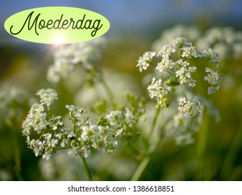 Mothers Dag image, with white flowers, cow parsley in the sun. The Dutch word Moederdag means Mothers Day. Room for copy.