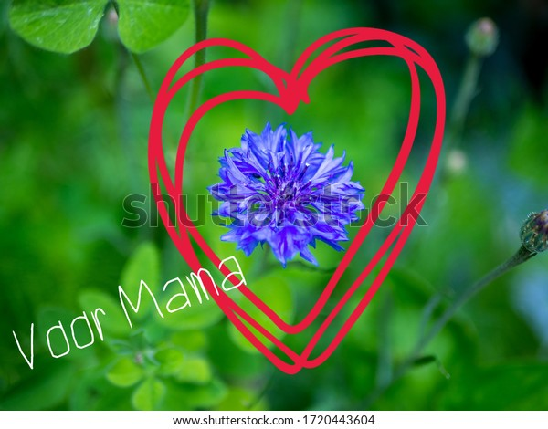 Mothers day concept with the Dutch words Voor Mama (for Mammy) A blue cornflower with a red heart drawn around it. Room for copy.