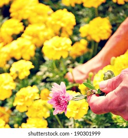 mothers day - hands working in a garden of mums - yellow and pink