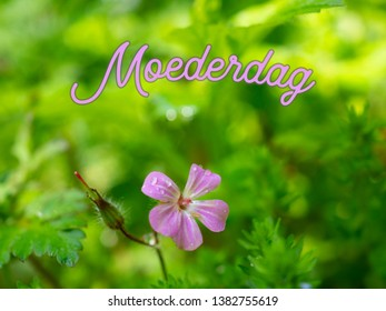 Mothers Day image with a pink flower and a green blurry background. The Dutch word Moederdag means Mothers Day. Taken on a sunny spring morning.