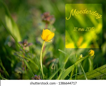 Mothers Day image with yellow buttercup flower and the Dutch word Moederdag which means Mothers Day. (mei = may). Flowers in a spring meadow.
