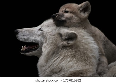 Mother's love between arctic wolf and cute female pup. Close-up of Canis lupus arctos isolated on black background. Cuddling wild animals. The young puppy feels secure on mother wolf's back.