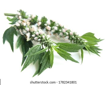 Motherwort (Leonurus cardiaca) isolated on white