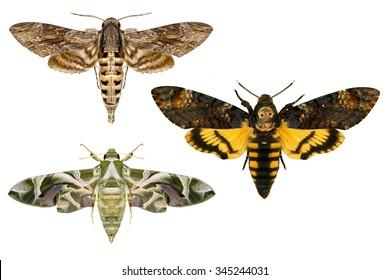 Moths.Sphingidae family(Lepidoptera) species.Daphnis nerii -oleander hawk-moth or army green moth,Convolvulus Hawk moth -Agrius convolvuli,Death's head Hawk moth -Acherontia atropos.Isolated on white