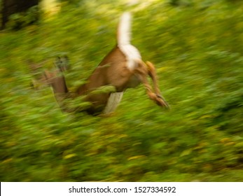 Motion blur of female white-tailed deer (binomial name: Odocoileus virginianus) bounding away through green woods in northern Illinois, USA, for themes of instinct, flight, swiftness