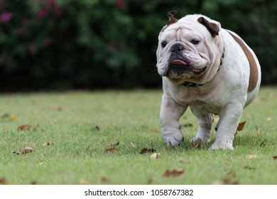 motion blurred of white english bulldog run on the grass at public park and show tounge with copy space for text