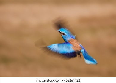 Motion expressing photo of shining blue bird, European Roller, Coracias garrulus, male with blurred outstretched wings, returning to nest with insect in its beak. Panning, Hungary.