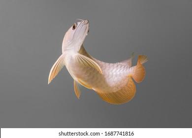 Motion of fish arowana malaysia golden  on Gray background