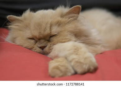 Motion of sleepy persian cat on bed