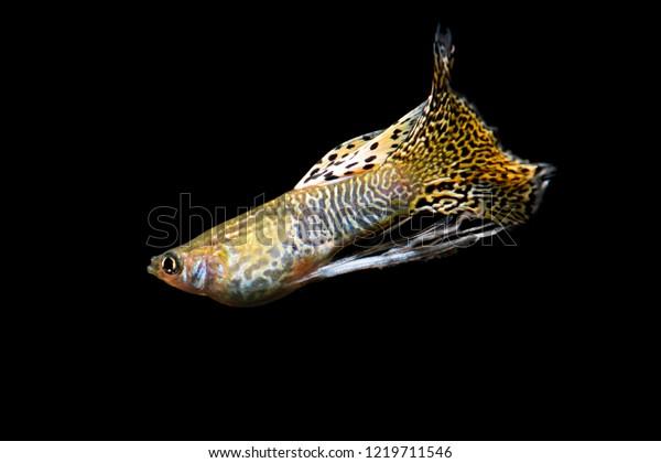 Motion Yellow King Cobra Guppy On Stock Photo Edit Now 1219711546