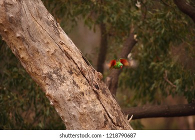 A motion-blurred Scaly-breasted Lorikeet flying from its nest hollow